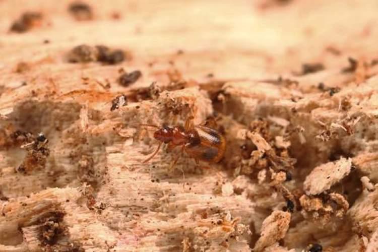 上海动物园里发现了新大陆!什么东西呢?原来,是一种小甲虫。请看:  经过权威鉴定,这种小甲虫是一个新物种。别看照片很大,其实,它的身长只有4-6毫米。当然,比去年发现的新物种西郊公园毛脚蚁甲要大。毛脚蚁甲身长才2毫米(去年3月,上海动物园里发现了新物种西郊公园毛脚蚁甲,此新闻当时很轰动哦)。  新发现的小昆虫还没有正式名字,暂且叫它新种莱甲。专家说,它属于拟步甲科,也就是人们常说的甲虫,和隐翅虫科的西郊公园毛角蚁甲八竿子打不着。  如果还是觉得有点难理解的话,以拟步甲科名气较大的面包