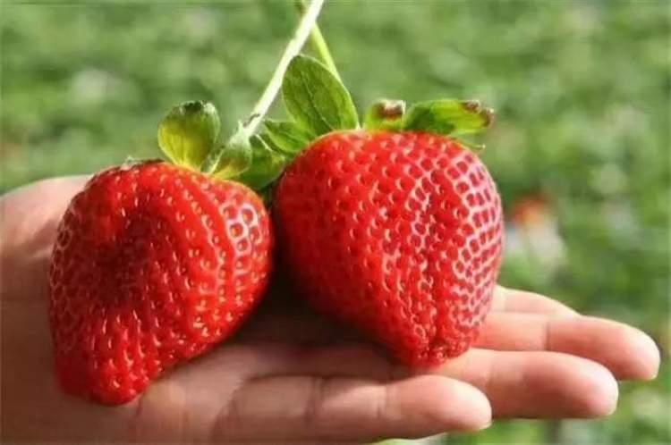 草莓又叫红莓,色泽鲜艳,肉嫩多汁,酸甜可口,还有其他水果没有的宜人果香,是难得的色、香、味俱佳的水果,颇受人们喜。上海本地都有哪些品种的草莓在销售呢?如何区分呢?让我们一起来看看吧!详  草莓又叫红莓、洋莓、地莓,是蔷薇科草莓属植物的通称。目前,上海地产草莓的鲜果供应期约半年,从每年的11月下旬到次年的5月上旬。供应情况大致分为两个批次,春节前的第一批次产量少、口感好,价格高;春节后的第二批次产量高、不耐储存,但价格相对亲民。 上海种植草莓品种主要为红颜和章姬两个品种,浦东新区以章姬为主,其它