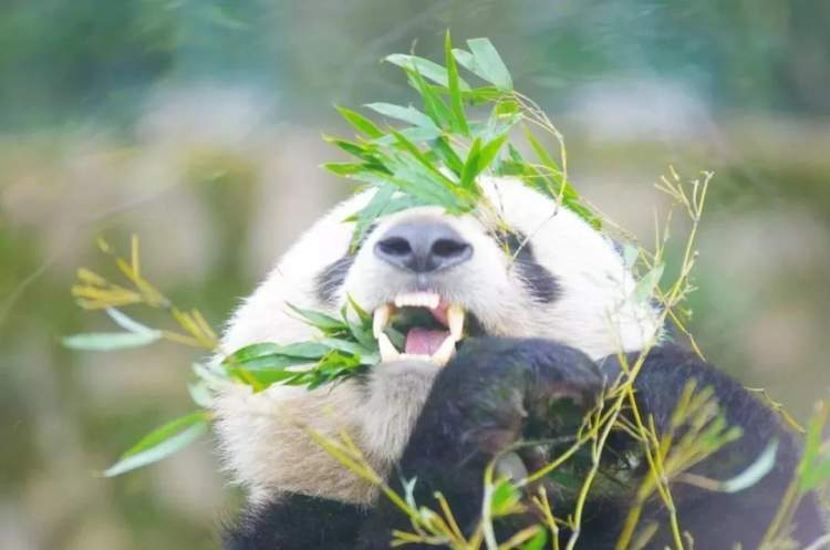 上海动物园熊猫馆改扩建,大熊猫将有新家