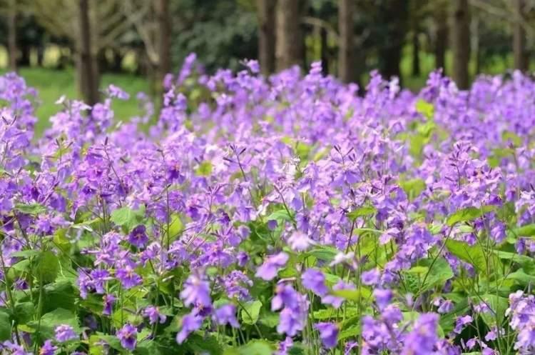 一株株,一片片, 一朵朵紫色的小花, 高高低低的樣子, 鋪成一層紫色的